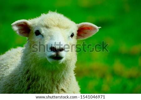 Portrait of a spring lamb. Free-range farming, sustainable farming.