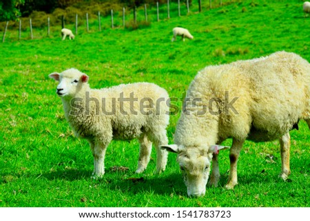 Portrait of a spring lamb with its mom. Free-range farming, sustainable farming.