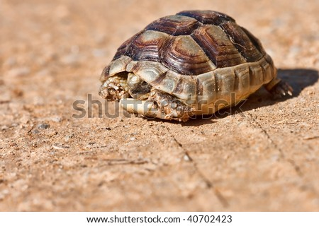Portrait of a Spur-thighed tortoise on the ground