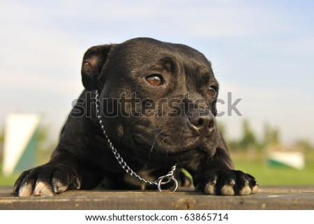 portrait of a staffordshire bull terrier laid down on a table