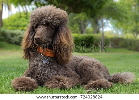 Portrait of a standard poodle laying in grass - Stock photo - Shutterstock ID 724028824