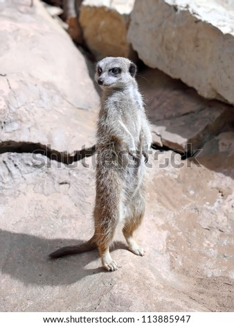 Portrait of a standing suricate on the stone