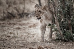 portrait of a standing  watchful lioness in the arid savanna, Etosha National Park, Namibia, Africa