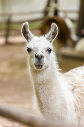 Portrait of a standing white llama