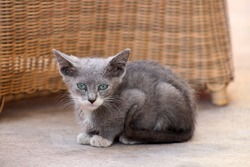 Portrait of a stray grey kitten with beautiful green eyes, sitting in the street, looking reserved.
