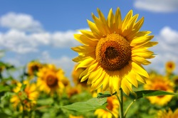 portrait of a sunflower in the field