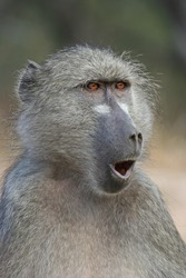 Portrait of a surprised baboon