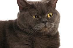 Portrait of a surprised blue gray cat