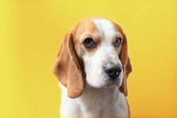 Portrait of a sweet adorable beagle dog on a bright yellow background. Breed of small hounds. English tricolor beagle. Happy pet dog studio shot. Cute serious adult beagle