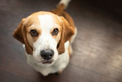 Portrait of a sweet adorable beagle dog on a dark brown background. Breed of small hounds. English tricolor beagle. Happy pet dog indoor shot. Cute serious adult beagle