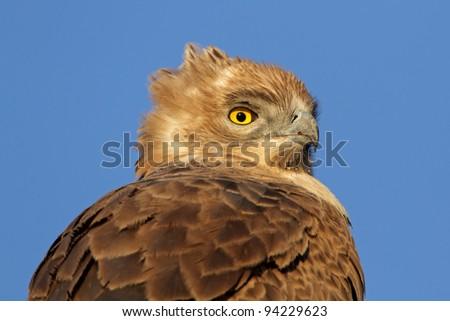 Portrait of a Tawny eagle (Aquila rapax), South Africa
