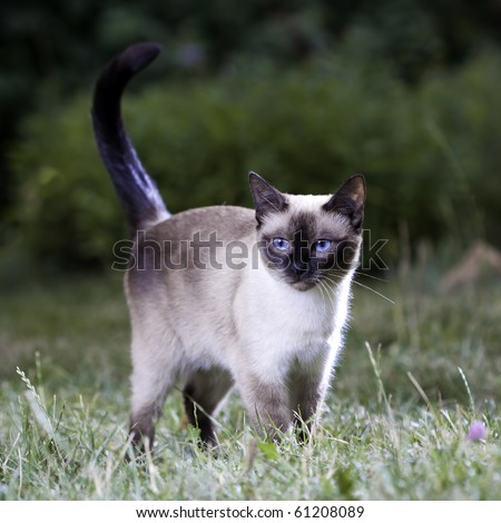 Portrait of a Thai cat on the lawn