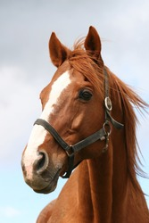 Portrait of a thoroughbred chestnut  stallion