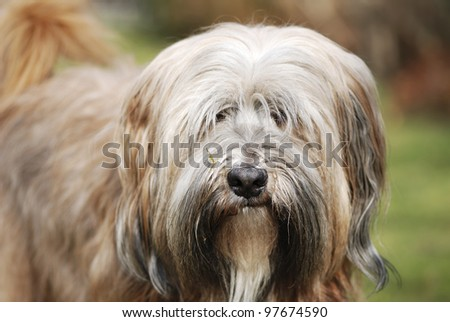 Portrait of a tibetan terrier dog