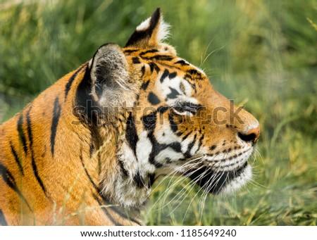 Portrait of a Tiger #1185649240