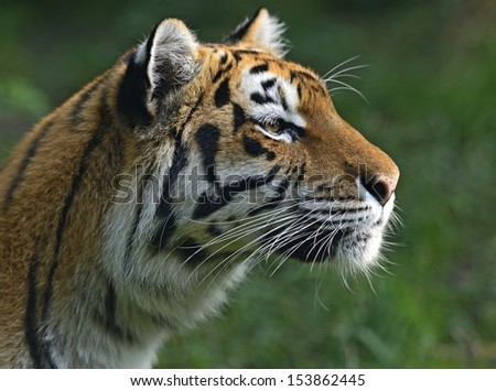 Portrait of a tiger in the summer #153862445