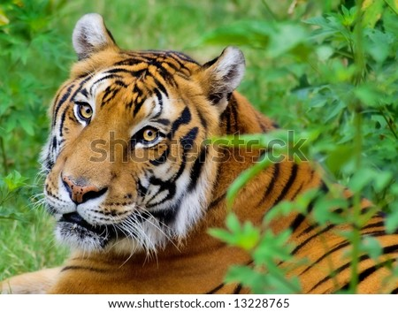 Portrait of a Tiger laying down.