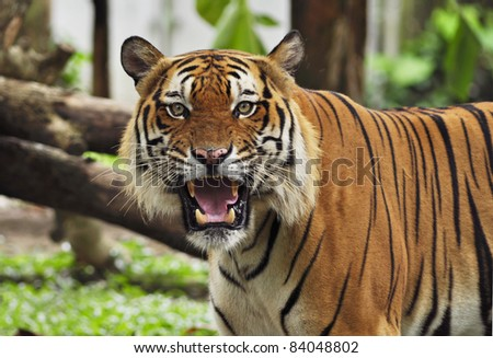 portrait of a tiger's face with bare teeth of Malayan Tiger