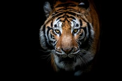Portrait of a Tiger with a black background
