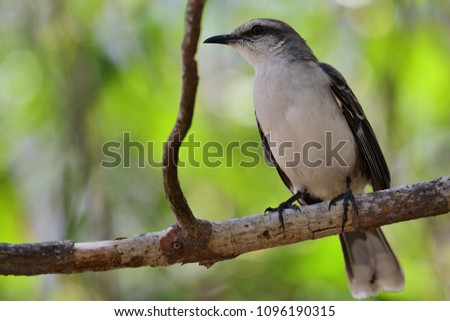 Portrait of a tropical mockingbird perched on a branch