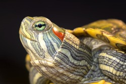 Portrait of a turtle on a black background