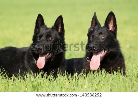 Portrait of a two German Shepherd or Alsatian dog