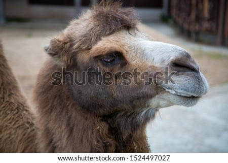 Portrait of a two-Humped camel with an important look. Wildlife, mammals, fauna.