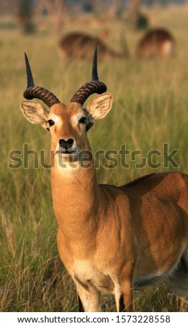 Portrait of a Uganda Kob buck. They are only found in limited areas of Uganda owing to excessive hunting and loss of habitat #1573228558
