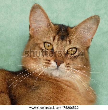 Portrait of a usual Somali female cat