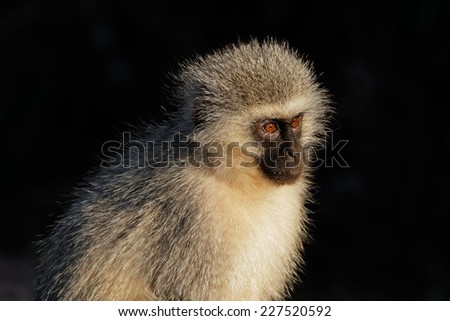 Portrait of a vervet monkey (Cercopithecus aethiops) against a dark background, South Africa