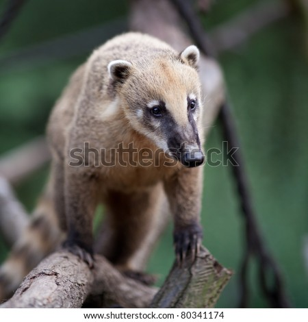 portrait of a very cute White-nosed Coati (Nasua narica) aka Pizote or Antoon. Diurnal, omnivore mammal