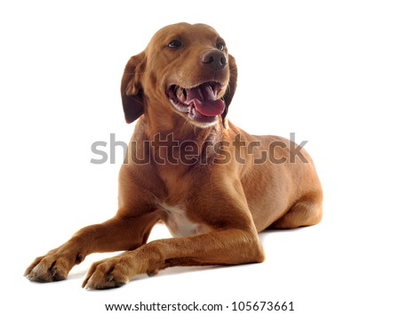 portrait of a vizsla with  in front of white background