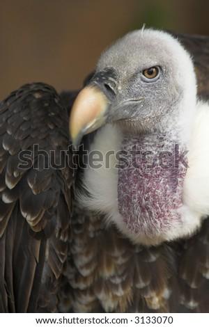Portrait of a vulture.