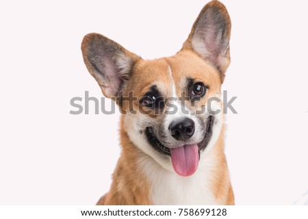 Portrait of a Welsh corgi Pembroke dog in studio in front of a white background #758699128