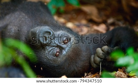 Portrait of a western lowland gorilla (Gorilla gorilla) close up at a short distance. adult female of a gorilla in a natural habitat. Jungle of the Central African Republic. Сток-фото ©
