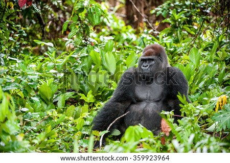 Portrait of a western lowland gorilla (Gorilla gorilla gorilla) close up at a short distance. Silverback - adult male of a gorilla in a native habitat. Jungle of the Central African Republic.  Сток-фото ©