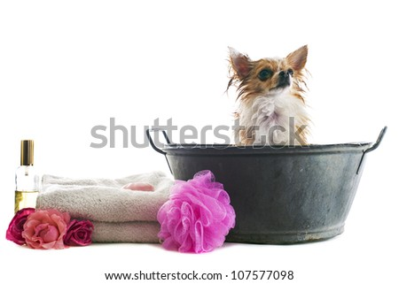 portrait of a wet purebred  chihuahua in front of white background