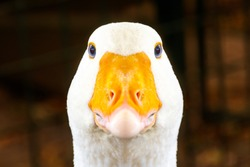 Portrait of a white geese with an orange beak. Breeding poultry for meat. Goose as a security guard. Anser anser domesticus
