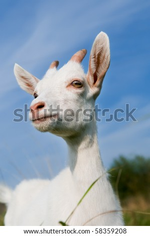 portrait of a white goatling standing on summer pasture over blue sky