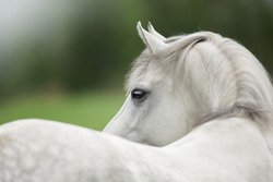 portrait of a white gray horse from the back with a bend in the summer in the field