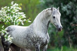 portrait of a white gray horse in summer in green leaves with white flowers