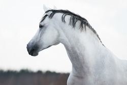 portrait of a white gray horse stallion mare against the light sky