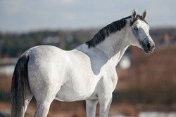 portrait of a white gray horse stallion mare standing standing in a field turned from the back