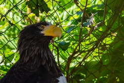 Portrait of a white headed bald eagle or haliaeetus leucocephalus