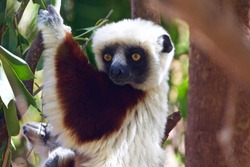 Portrait of a white headed lemur. Photo taken in Lemur park near Antananarivo, Madagascar