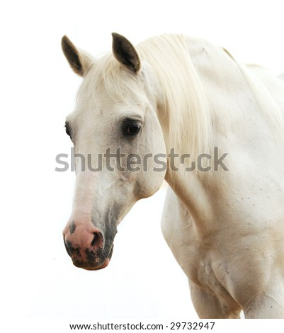 Portrait of a white horse isolated on white