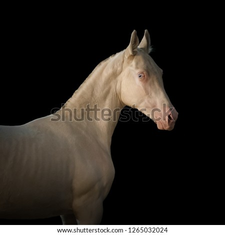 Portrait of a white horse look back on black background isolated #1265032024