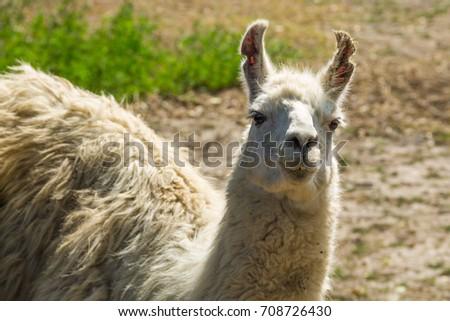 Portrait of a white lama. Llama in paddock #708726430