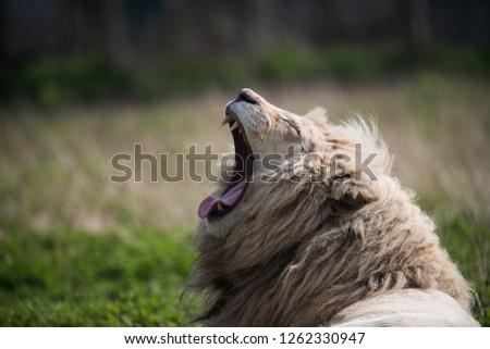 portrait of a white lion  #1262330947