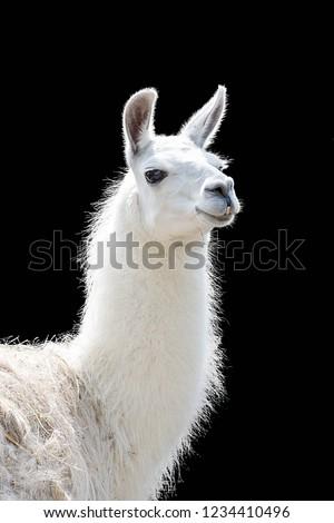 Portrait of a white llama Lama glama isolated on black background #1234410496